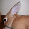 ウサギのたてがみ